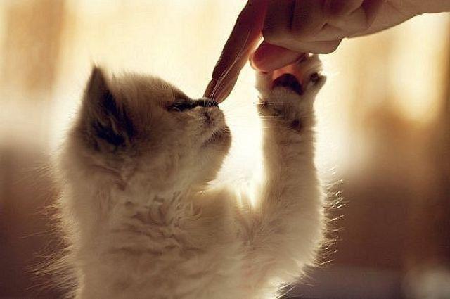 Котенок нюхает палец