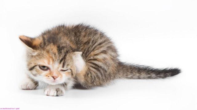 Котенок чешентся