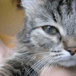 Что делать, если у котенка гноятся глаза
