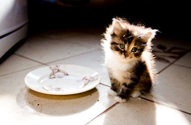 Котенок возле тарелки