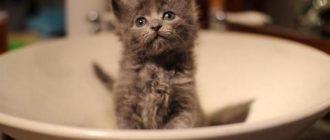 Котенок в тарелке