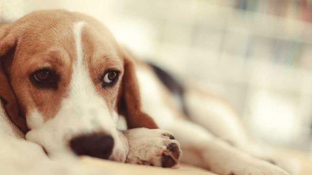 Пес грустно смотрит