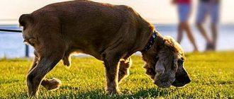 Пес нюхает траву