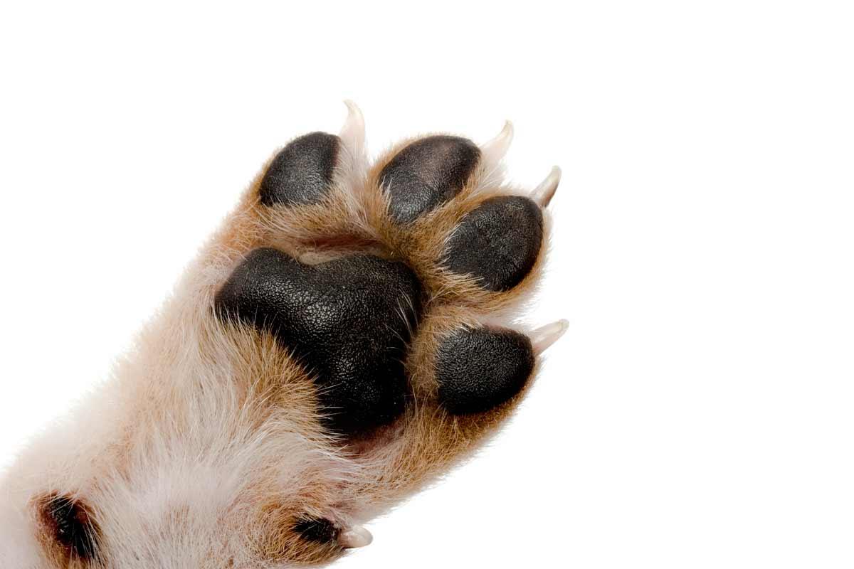 Собачьи когти