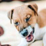 Что делать, если собака чихает и кашляет?