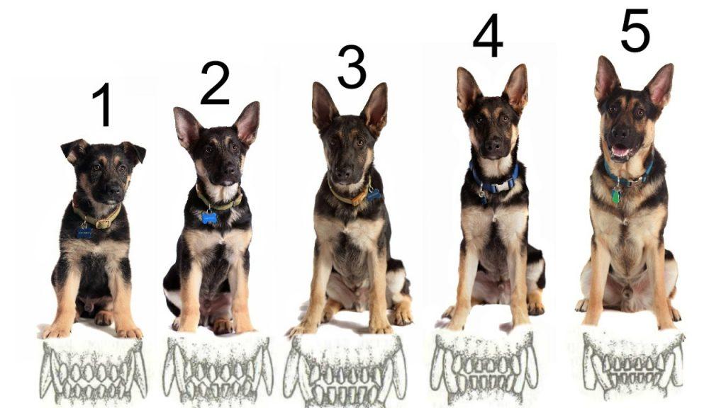 как считать возраст у собак