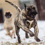 Топ-5 опасных пород собак