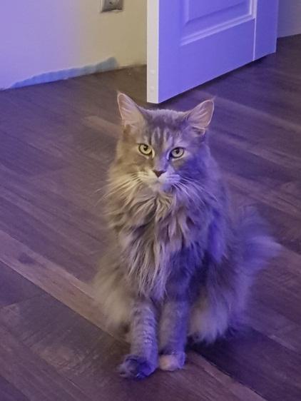 кошка породы май кун