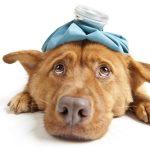 Распространённые вирусные инфекции у собак