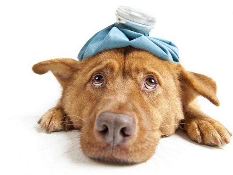 Собака приболела