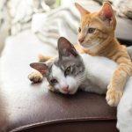 Как подготовить кота к первой вязке