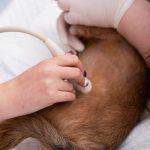 Как подготовить собаку к УЗИ