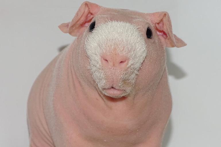 Морская свинка болдуин