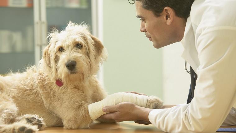 Собака с перевязанной лапой