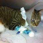 Уход за кошкой после операции
