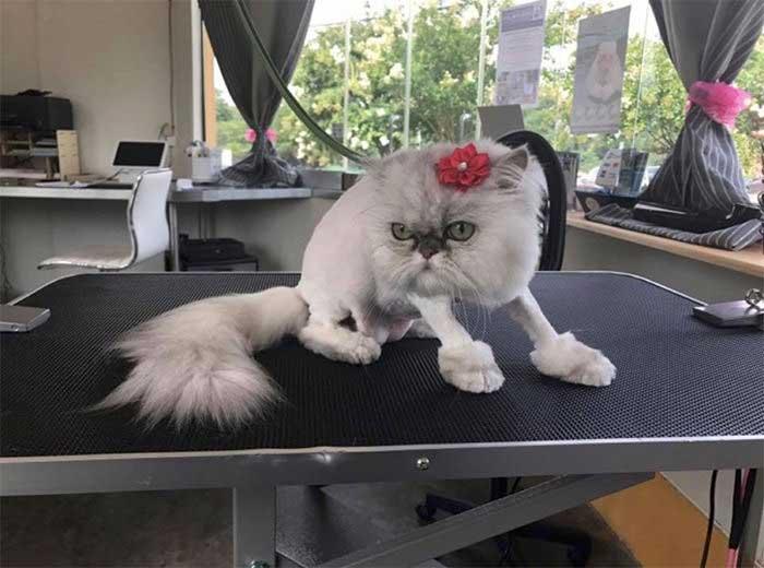 Стриженная кошка