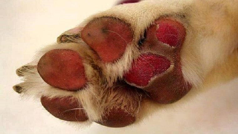 Ожог подушечек пальцев собаки
