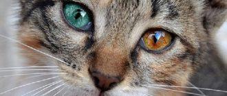 Кошка с разными глазами