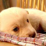 Рождение щенка, оказание первой помощи, уход