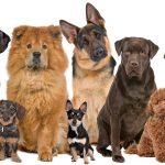Содержание и разведение племенных собак