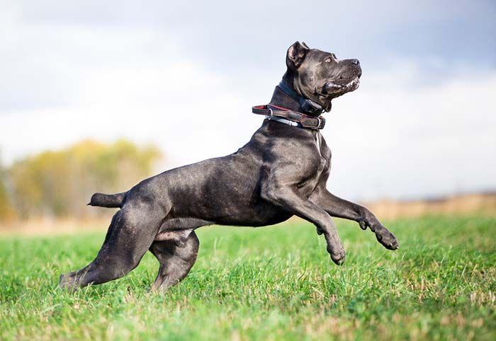 Собака бойцовской породы