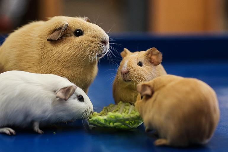 Семья морских свинок