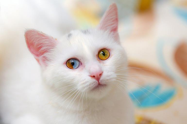 У кошки гетерохромия