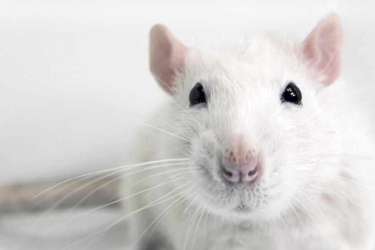 Белый крыс