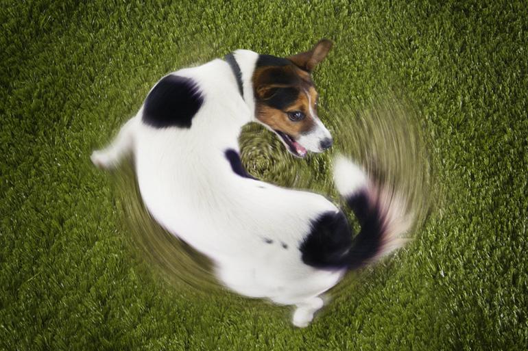 Собака бегает за хвостом