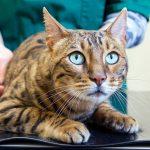 Профилактические прививки для кошек, виды вакцинации и сроки проведения