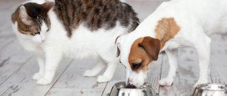 Собака ест кошачий корм