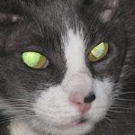 Секреты свечения кошачьих глаз в темноте