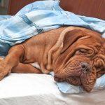 Непроходимость кишечника у собак. Как помочь в домашних условиях?