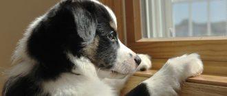 Собака скучает по хозяину