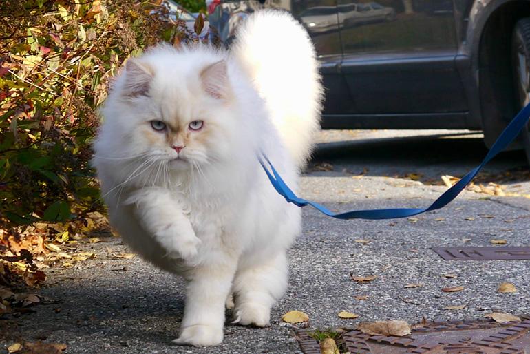 Кот на шлейке