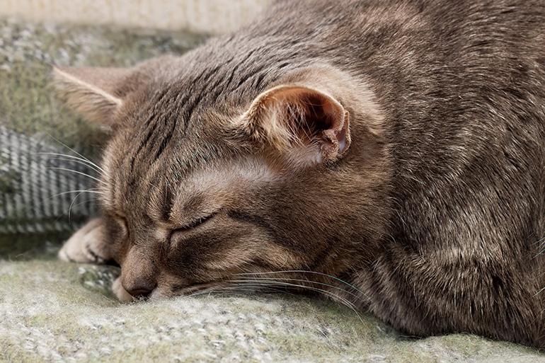 Недомогание у кошки