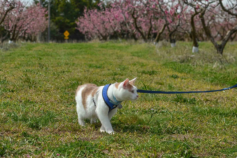 Выгуливание кошки