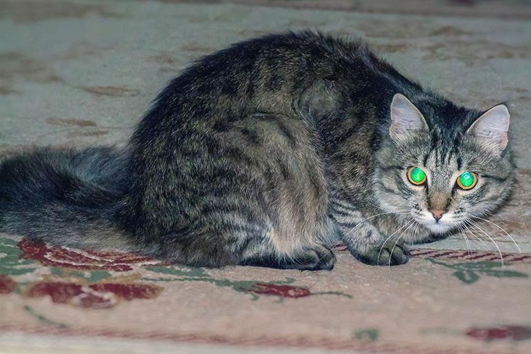 Тапетум вызывает отражение света в глазах
