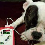 Нормальный пульс у собаки, причины и признаки нарушений