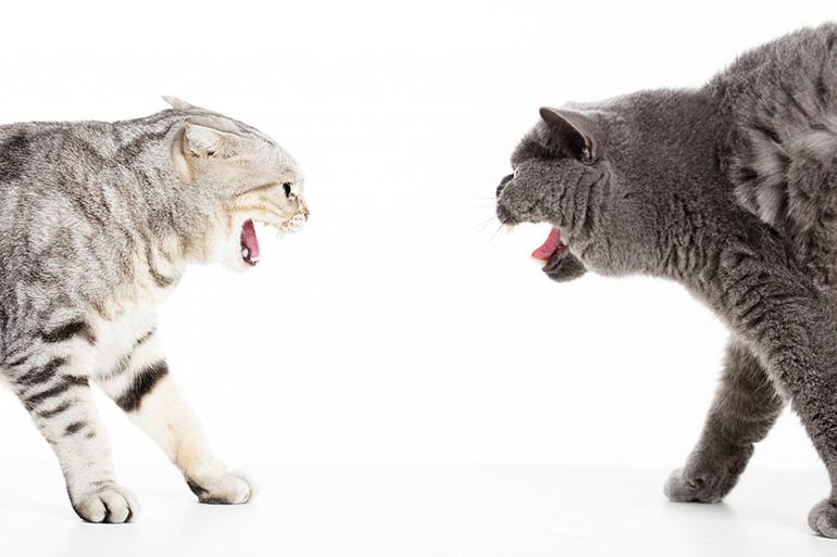 Коты выясняют отношения