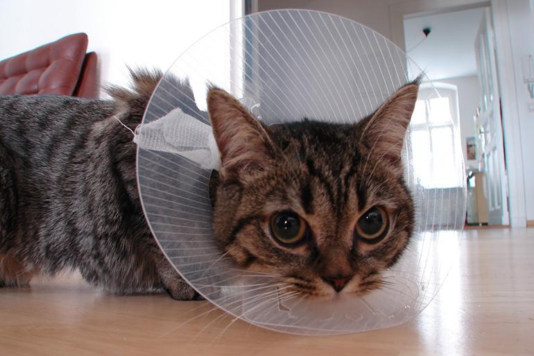 Кошка с воротником