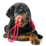 Как приучить щенка к ошейнику и поводку