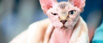 Кошка лысой породы