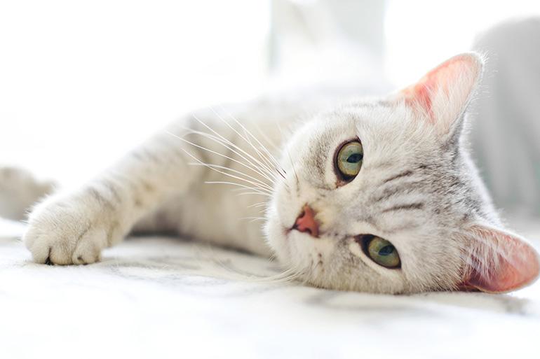 Истощённая кошка