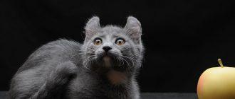 Котёнок кинкалоу