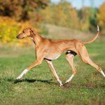 Всё об охотничьей породе собак Азавак