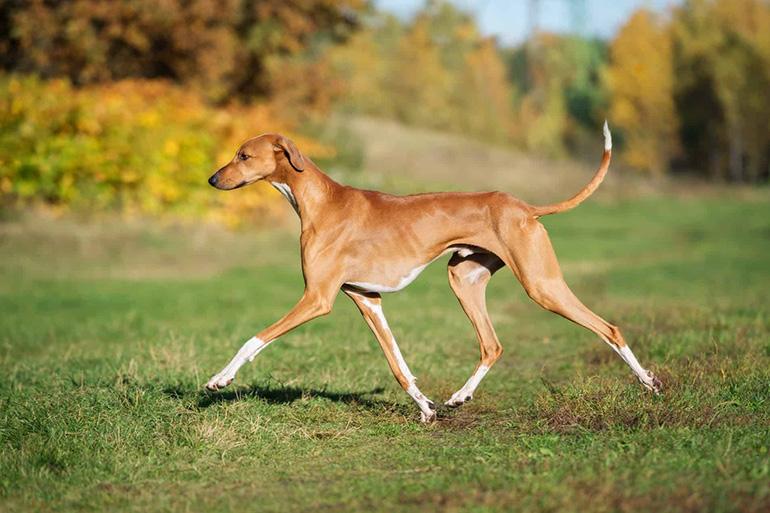 Собака породы азавак