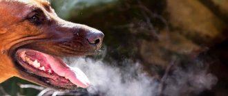 Дыхание собаки