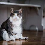 Почему у кошек случается ожирение? Основные причины избыточного веса