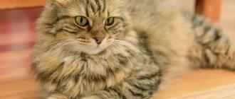 Кошка с необычными ушками